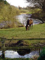 Horse Grazing on The Liffey at Clane