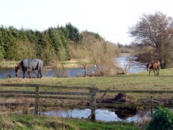 Horses Beside the Liffey at Clane