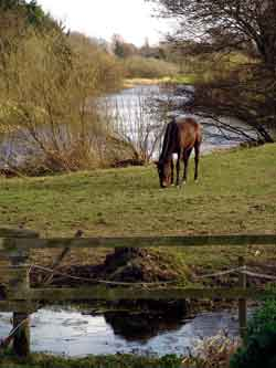 Horse Beside The Liffey at Clane