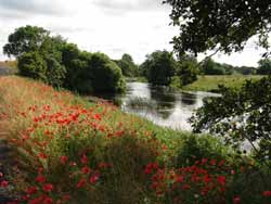 Poppies along the Liffey at Clane
